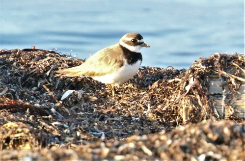 Common Ringed Plover First Photo