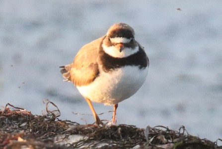 Common Ringed Plover Palmation