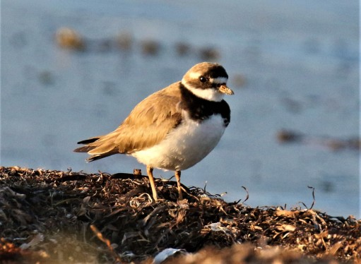 Common Ringed Plover2