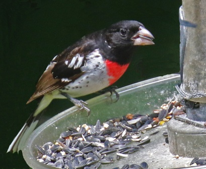Rose Breasted Grosbeak1r