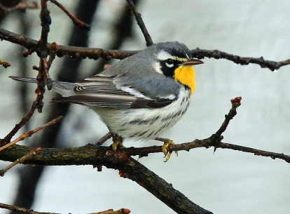 Yellow Throated Warbler2