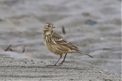 American Pipit1