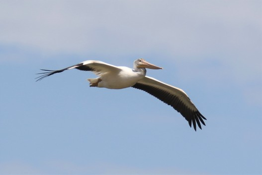 American White Pelican Flight