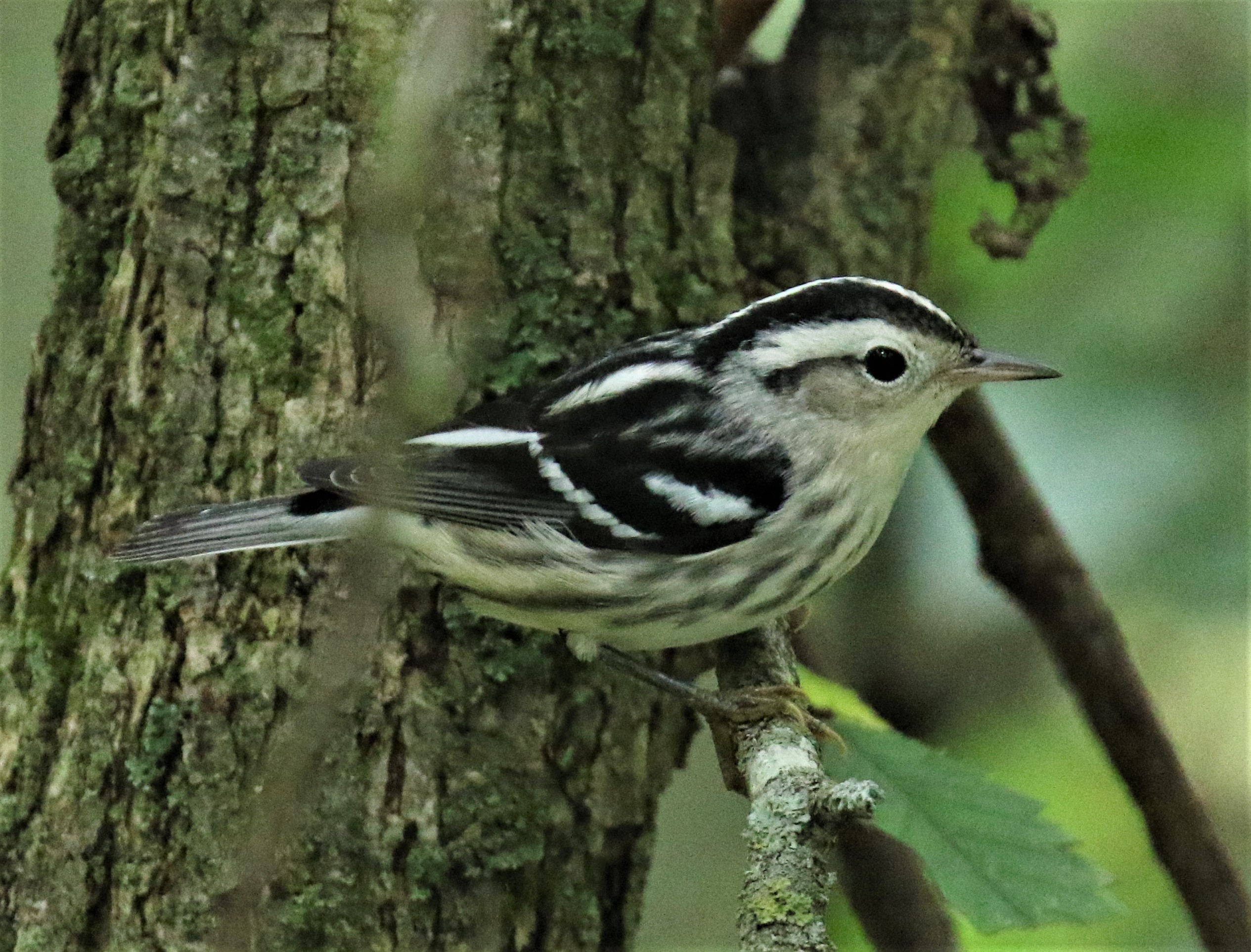 Black and White Warbler1
