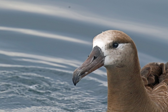 Black Footed Albatross Head