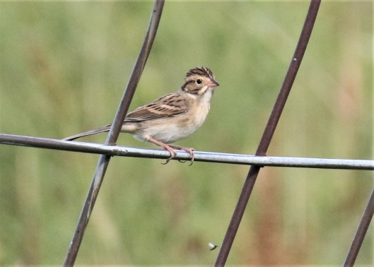 Clay Colored Sparrow3
