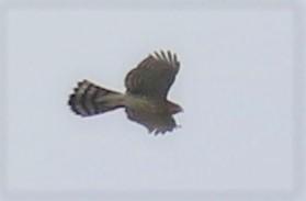 Cooper's Hawk1