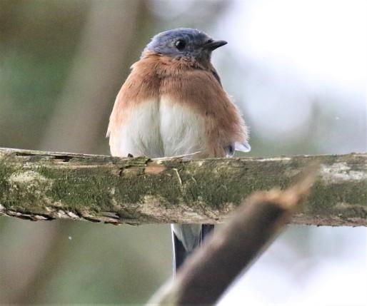 Eastern Bluebird1