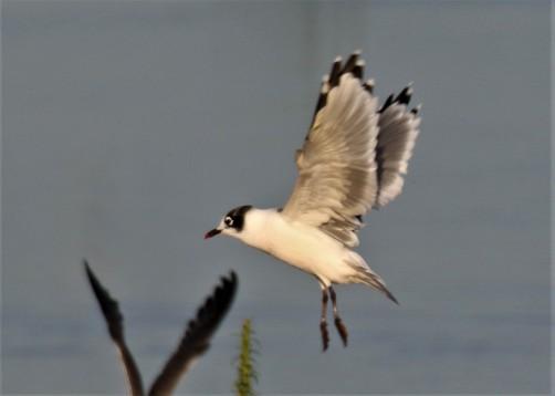 Franklin's Gull Flight