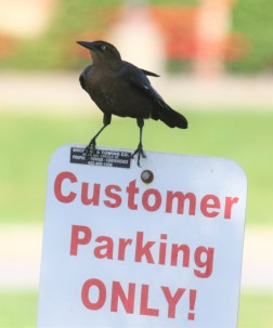 Great Tailed Grackle on SIgn