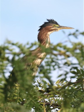 Green Heron Vertical