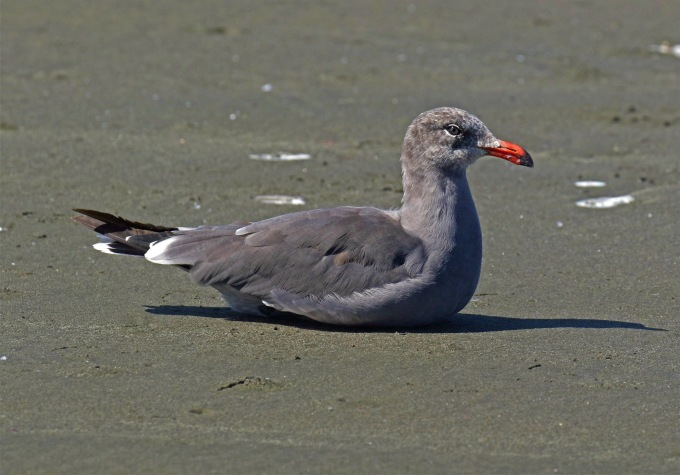 Heerman's Gull1