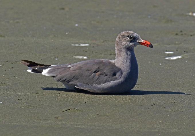 Heerman's Gull1