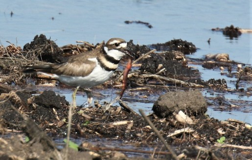 Killdeer with Worm1