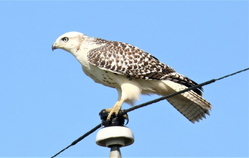 Krider's Red Tailed Hawk1