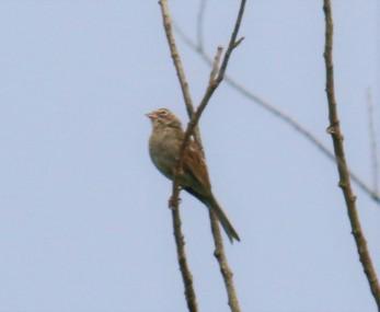 Lark Sparrow1