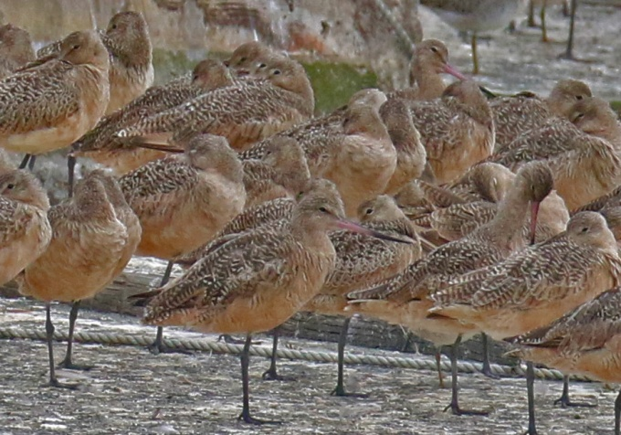 Marbled Godwits1