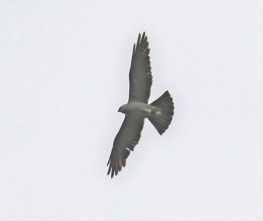 Mississippi Kite2