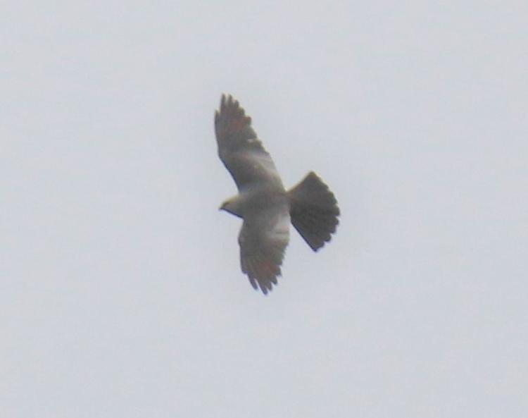 mississippi-kite3-1.jpg
