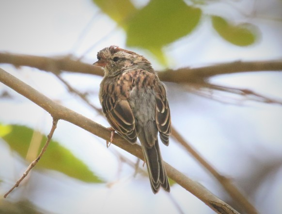 Odd Chipping Sparrow