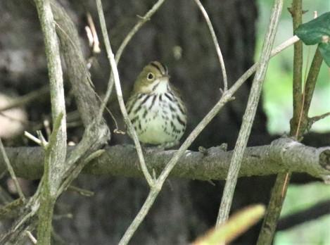 Ovenbird2