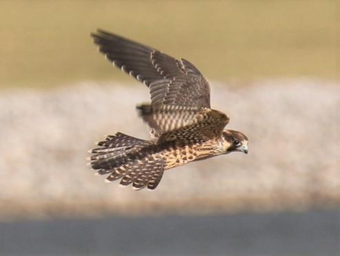 Peregrine Falcon Flight2