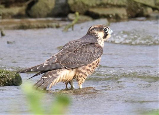 Peregrine Falcon1