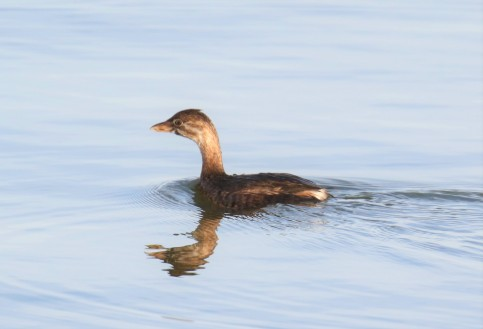 Pied Billed Grebe Juvenile