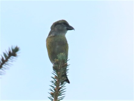 Red Crossbill Female