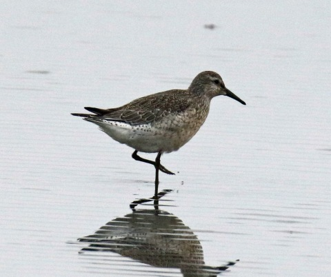 Red Knot1