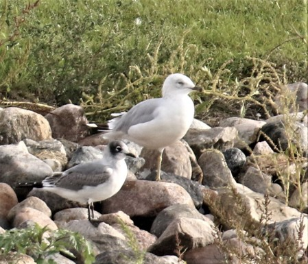 Ring Billed and Franklin's Gulls