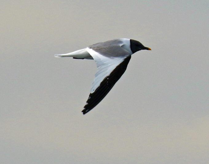 Sabine's Gull Adult1