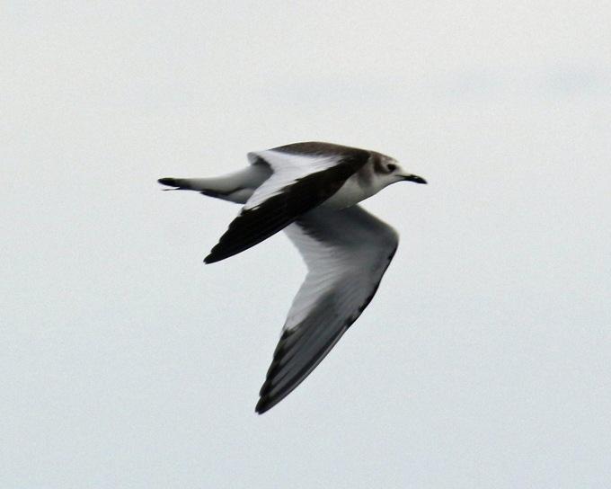 Sabine's Gull Juvenile2