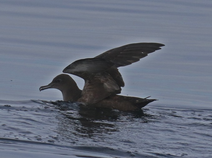 Short Tailed Shearwater Wings