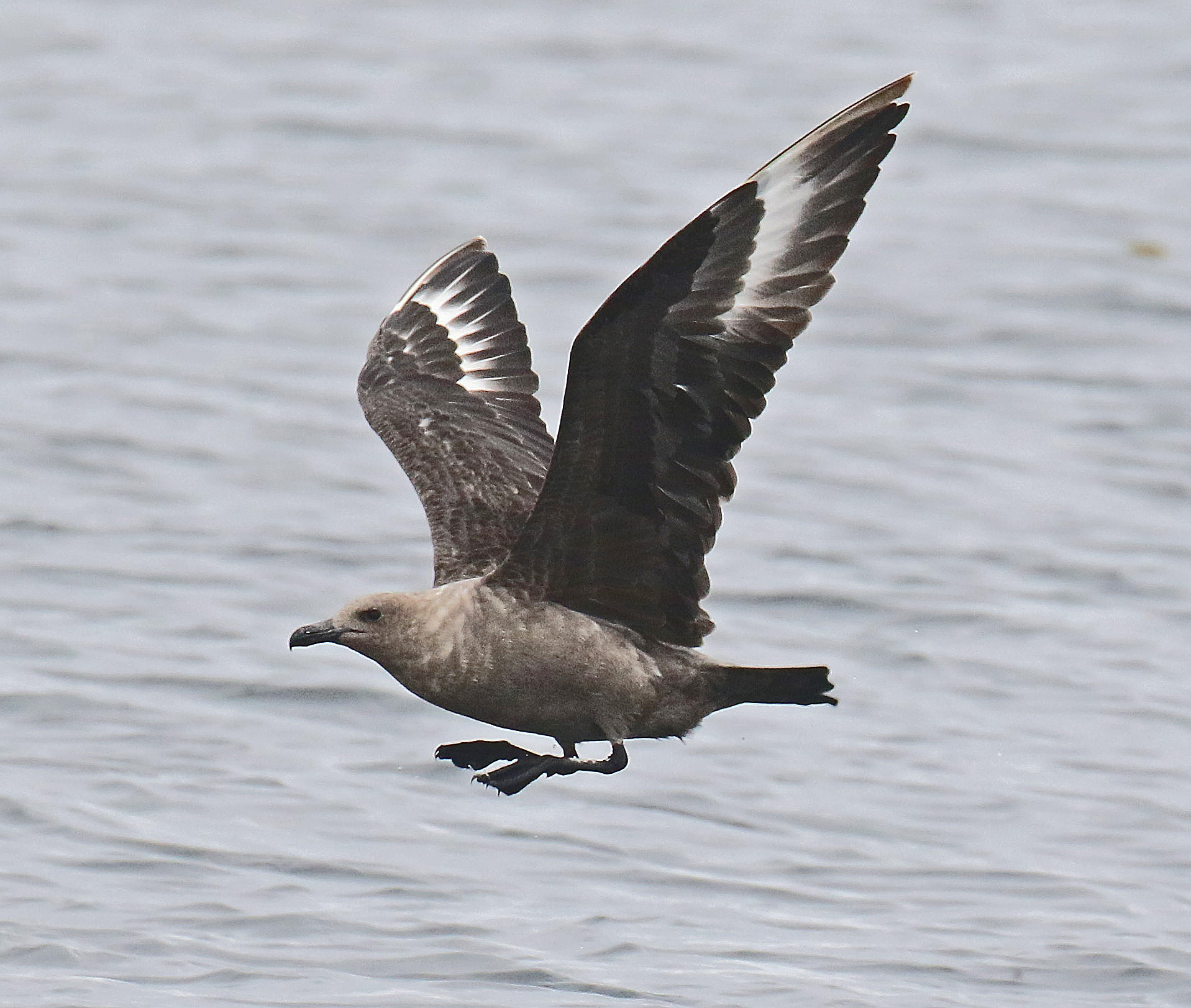 South Polar Skua Flight1