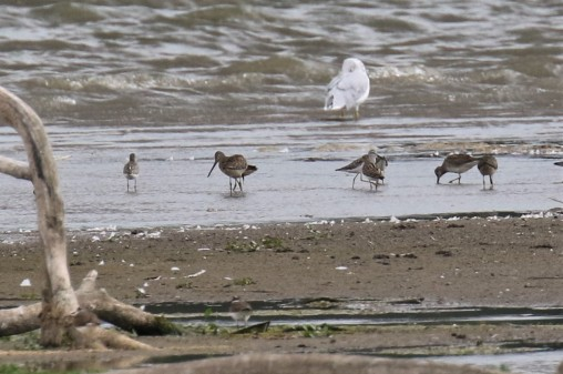 Stilt Sandpiper and Long Billed Dowitchers