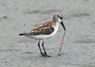 Western Sandpiper with Worm1