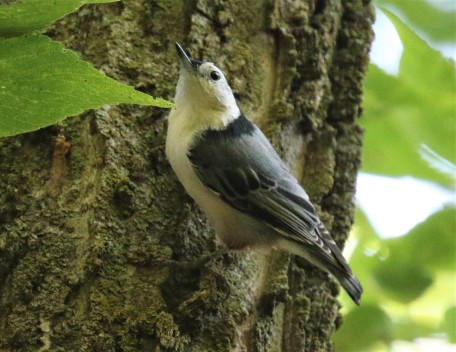 White Breasted Nuthatch2