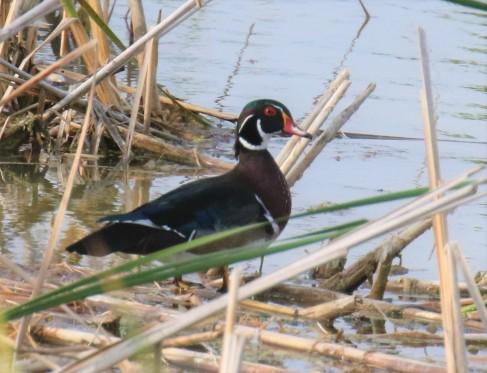 Wood Duck Male1