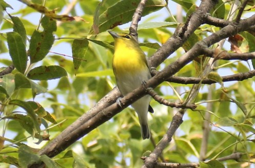 Yellow Throated Vireo1