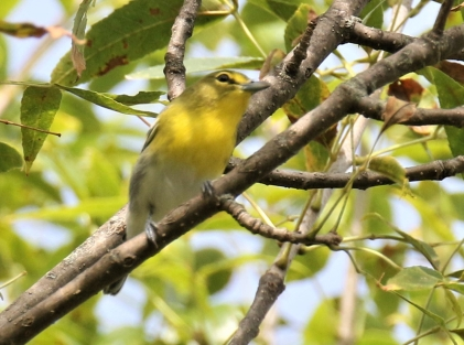 Yellow Throated Vireo2