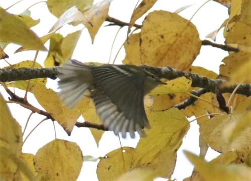 Yellow Browed Warbler Flight