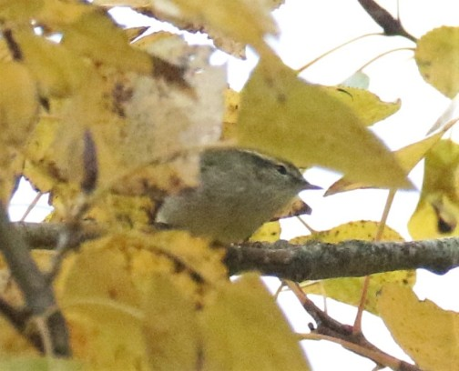 Yellow Browed Warbler1