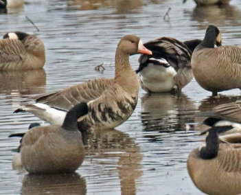 Greater White Fronted Goose