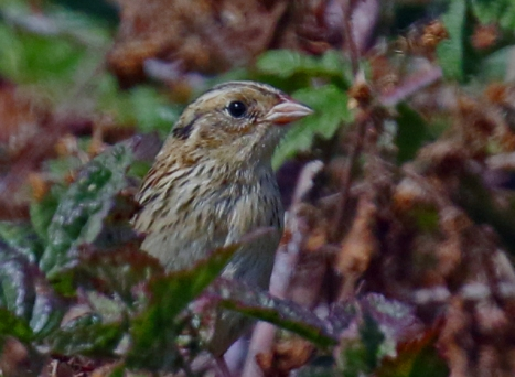 LeConte's Sparrow5r