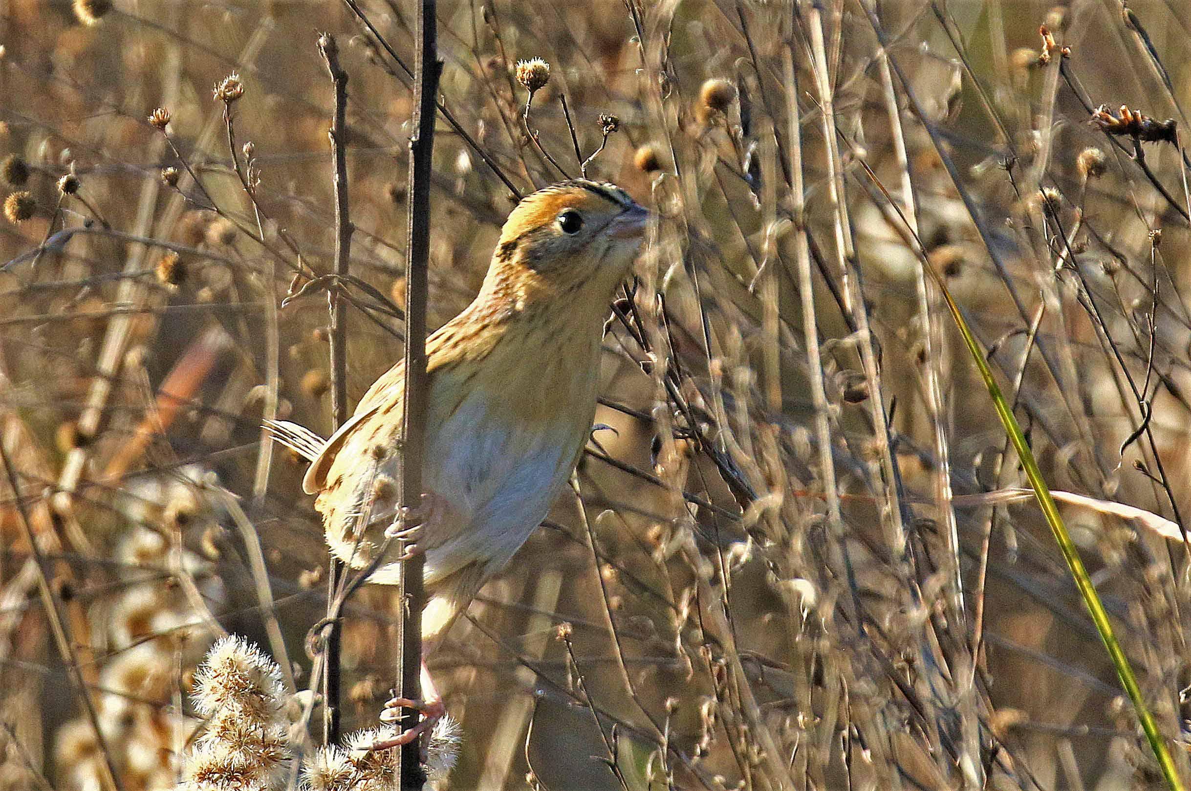 LeConte's SparrowR