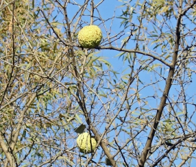Osage Oranges in Tree