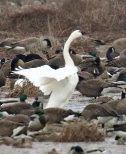Tundra Swan Standing
