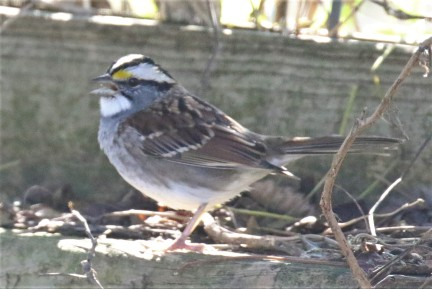 White Throated Sparrow1