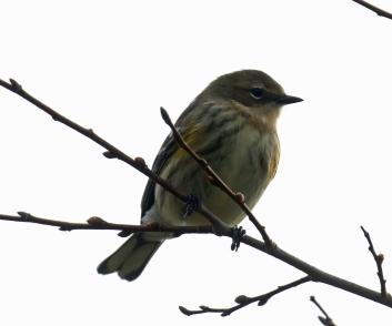 Yellow Rumped Warbler 1